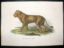 Schinz 1845 Antique Hand Col Print. Lion 21